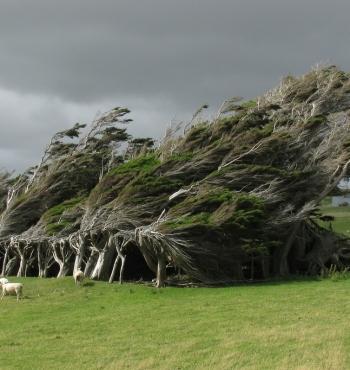 Фото дня: Гонимые ветром деревья на Наклонном мысе