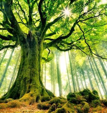 Бук Понтуса в лесу Броселианд, Франция